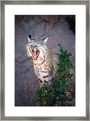 Bobcat Yawn Framed Print by Randall Ingalls