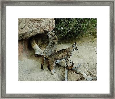 Bobcats On Guard Framed Print by Robert Visor