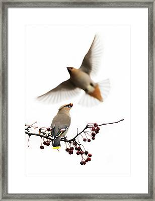 Framed Print featuring the photograph Bohemian Waxwings by Mircea Costina Photography
