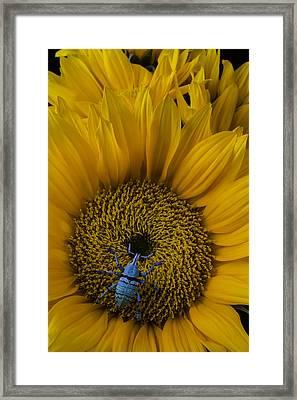 Boll Weevil On Sunflower Framed Print