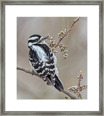 Bombay Hook Woodpecker Framed Print