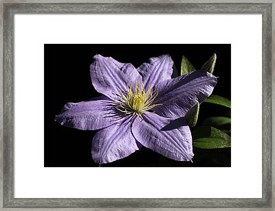 Bonanza Clematis Framed Print by Tammy Pool