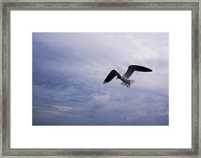 Framed Print featuring the photograph Bonaparte's Gull In Flight by Kathleen Stephens