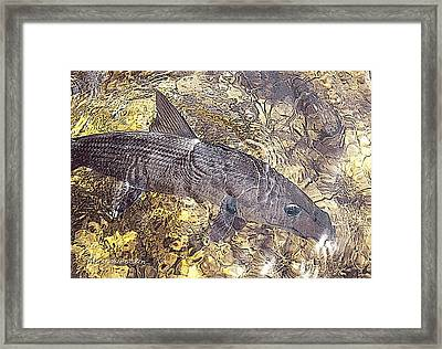 Bonefish World Framed Print by Alex Suescun