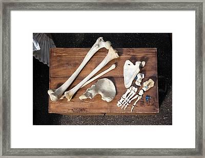 Bones And Skull Of An Unknown Animal  Framed Print by Elena Rostunova