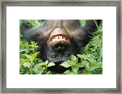 Bonobo Pan Paniscus Smiling Framed Print by Cyril Ruoso