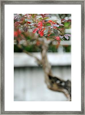 Bonsai Framed Print by Jessica Rose