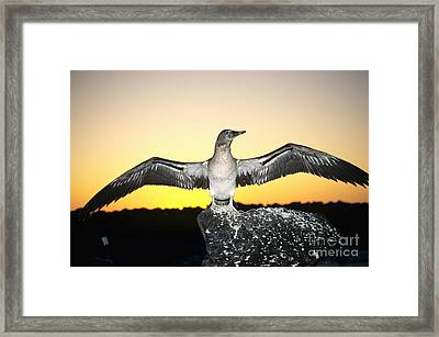 Booby At Sunset Framed Print