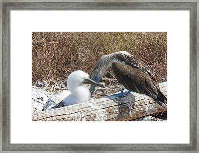 Booby Grooms Chick Framed Print