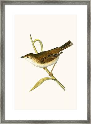 Booted Reed Warbler Framed Print by English School