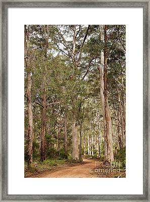 Framed Print featuring the photograph Boranup Drive Karri Trees by Ivy Ho