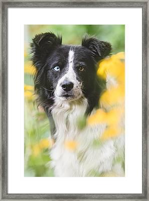 Border Collie Dog Portrait Framed Print by Debi Bishop