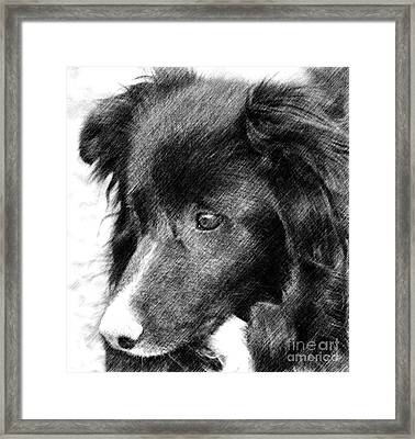Border Collie In Pencil Framed Print