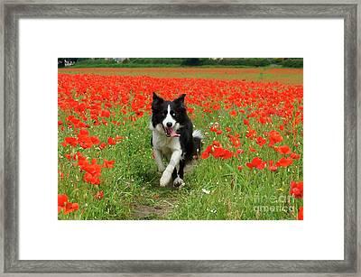 Border Collie In Poppy Field Framed Print by David Birchall