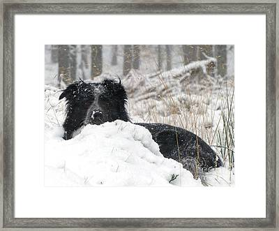 Border Collie In Snow Framed Print