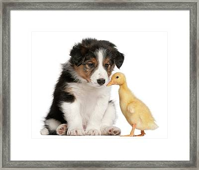 Border Collie Puppy And Domestic Duckling Framed Print by Life On White