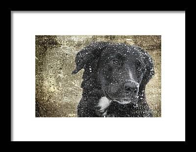 Collie Framed Prints