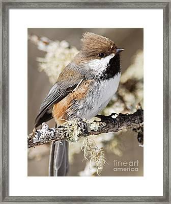 Boreal Chickadee Framed Print by Larry Ricker