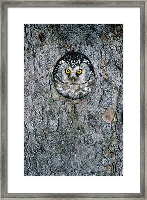 Boreal Owl Aegolius Funereus Peaking Framed Print by Konrad Wothe