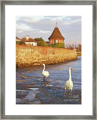 Bosham Swans Out For A Stroll Framed Print by Terri Waters