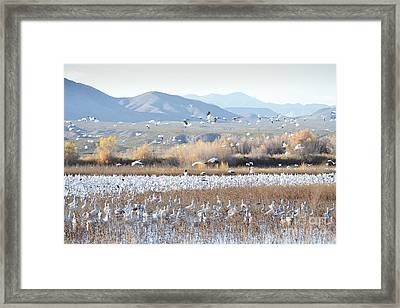 Bosque Del Apache Snow Geese Landscape Framed Print by Andrea Hazel Ihlefeld
