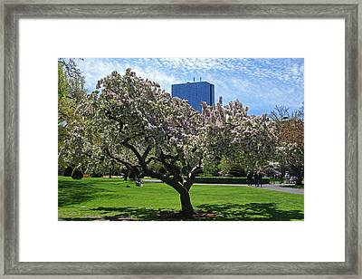 Boston Public Garden Spring Tree Boston Ma Framed Print by Toby McGuire