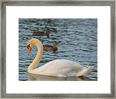 Boston Public Garden Swan Amongst The Ducks Framed Print by Toby McGuire