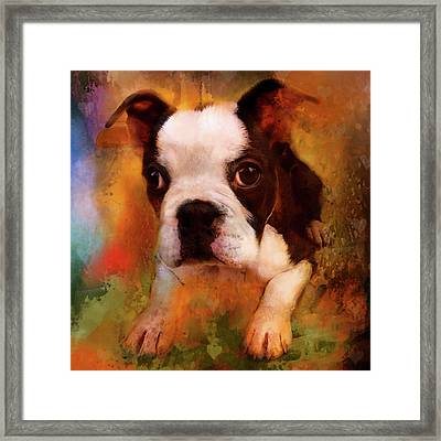 Boston Puppy Framed Print by Jeff Burgess