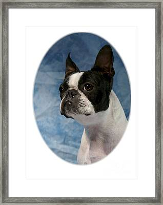 Boston Terrier 531 Framed Print by Larry Matthews