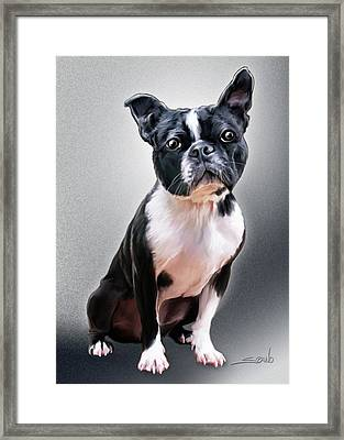 Boston Terrier By Spano Framed Print by Michael Spano