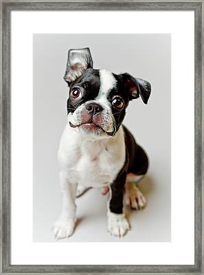 Boston Terrier Dog Puppy Framed Print