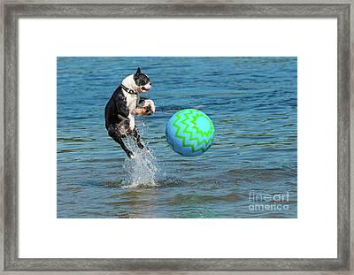 Boston Terrier High Jump Framed Print