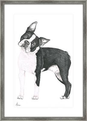 Boston Terrier Framed Print by Murphy Elliott