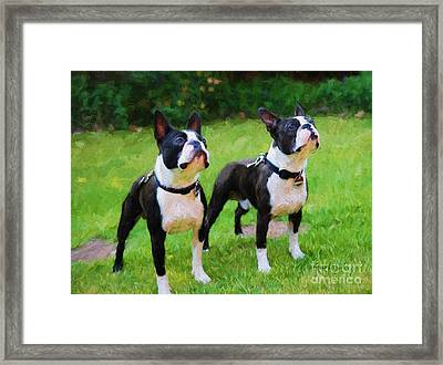 Boston Terriers  Framed Print by Garland Johnson