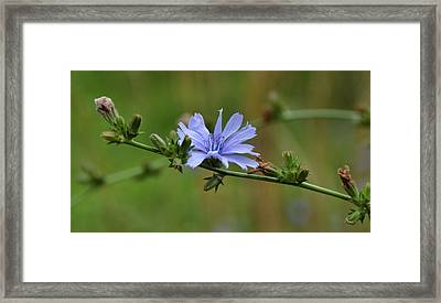 Botany Blues Framed Print by JAMART Photography