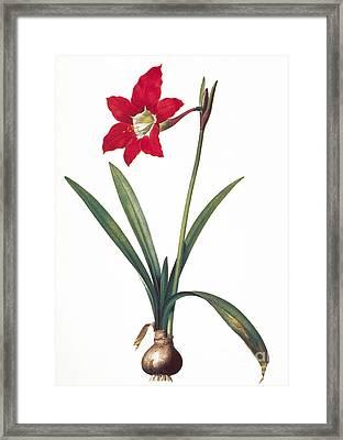 Botany: Lily Framed Print by Granger