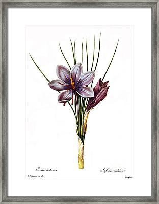 Botany: Saffron Framed Print by Granger