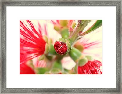 Bottle Brush Bloom Framed Print by Kerry Reed