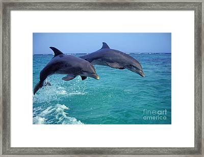 Bottle-nosed Dolphin Framed Print
