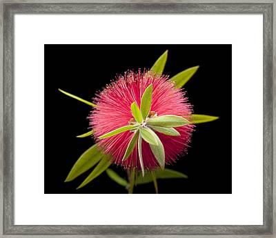 Bottlebrush 2 Framed Print by Kelley King