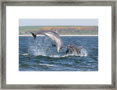 Framed Print featuring the photograph Bottlenose Dolphin - Moray Firth Scotland #49 by Karen Van Der Zijden