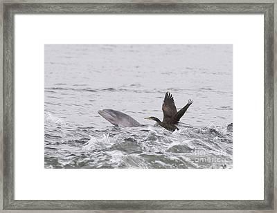 Baby Bottlenose Dolphin - Scotland #10 Framed Print