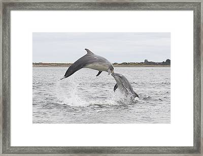 Bottlenose Dolphins - Scotland #1 Framed Print