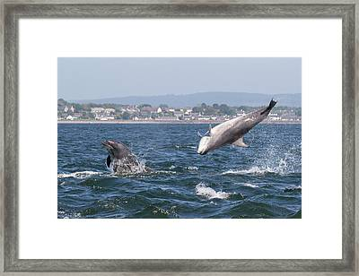 Framed Print featuring the photograph Bottlenose Dolphins - Moray Firth Scotland #45 by Karen Van Der Zijden
