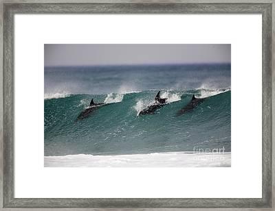 Bottlenose Dolphins Surfing Framed Print