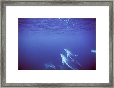 Bottlenose Dolphins Swimming In Open Framed Print by James Forte