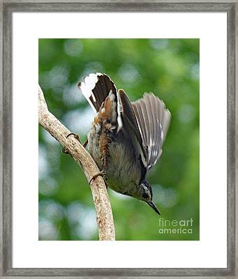 Bottoms Up - White-breasted Nuthatch Framed Print