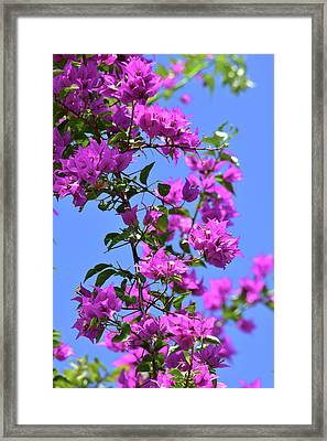 Bougainvillea And Sky Framed Print