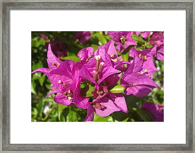 Framed Print featuring the photograph Bougainvillea by Frederic Kohli