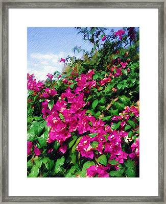 Framed Print featuring the photograph Bougainvillea by Sandy MacGowan
